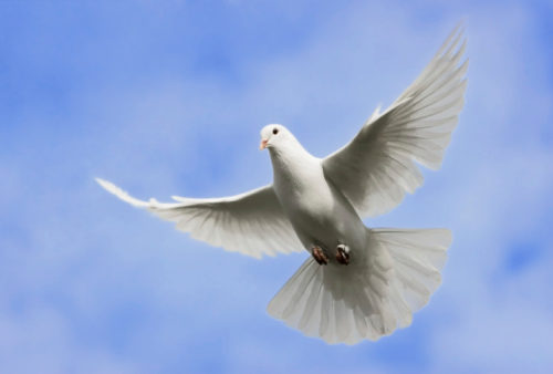 Dove flying, which represents the Holy Spirit in the Bible, as we study the role and significance of the Holy Spirit