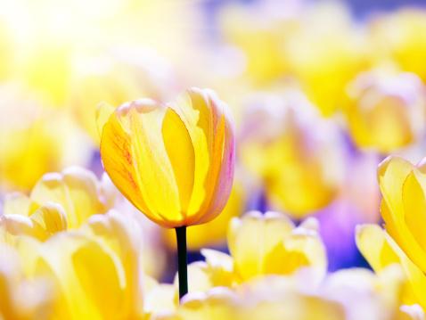 Yellow tulip flowers.