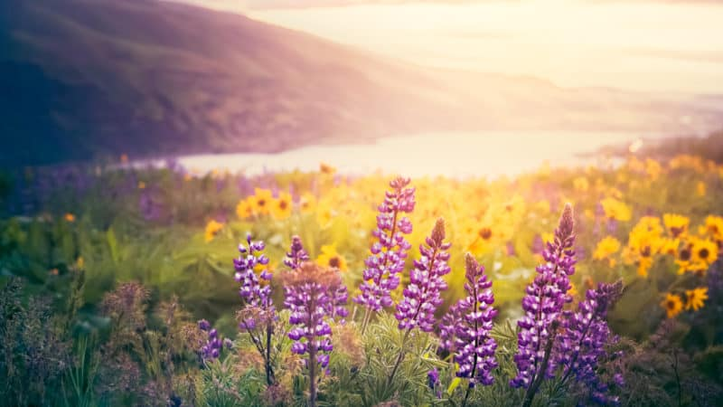 purple and yellow flowers in a meadow overlooking a lake
