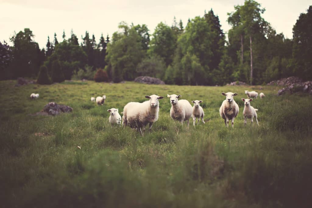 like a shepherd cares for his sheep in the field, Jesus the good shepherd can be studied about in the Bible