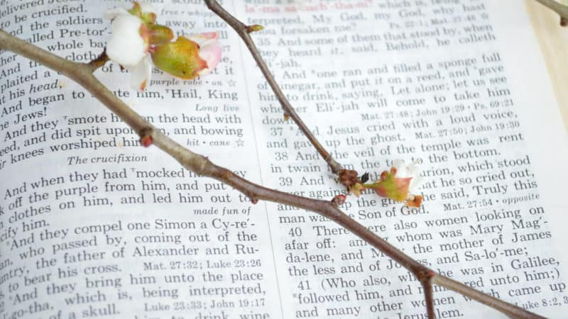 Closeup of King James version Bible page open to the gospel of Mark, chapter 15 with beautiful thorny, budding branches laid over the page.