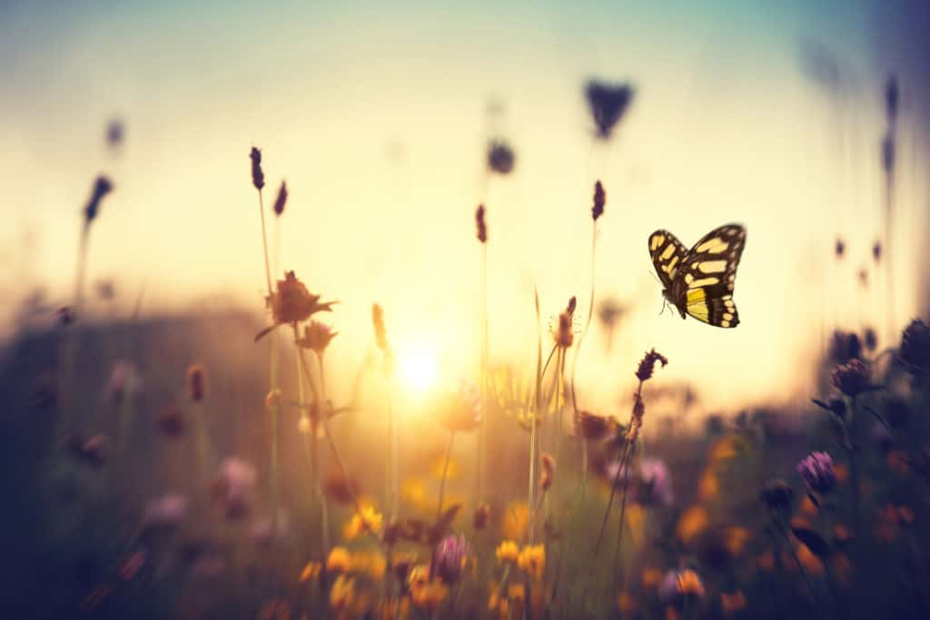 Summer meadow with butterfly at sunset.