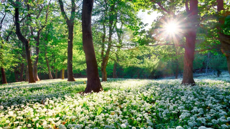 Sun in green forest with wild garlic