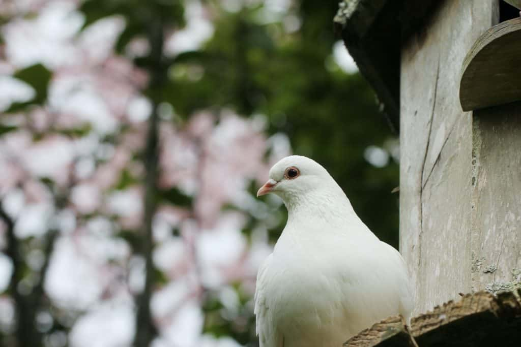 White dove perched with foliage behind.