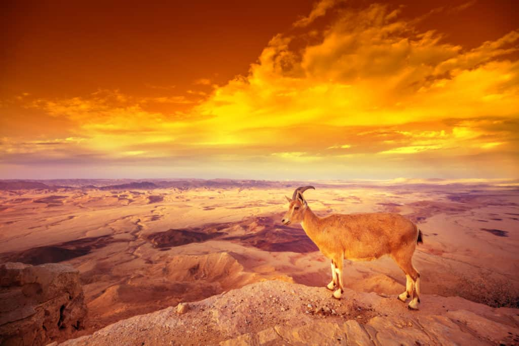 Sunset in desert. A Nubian ibex on the edge of Makhtesh Ramon Crater in Negev desert, Israel