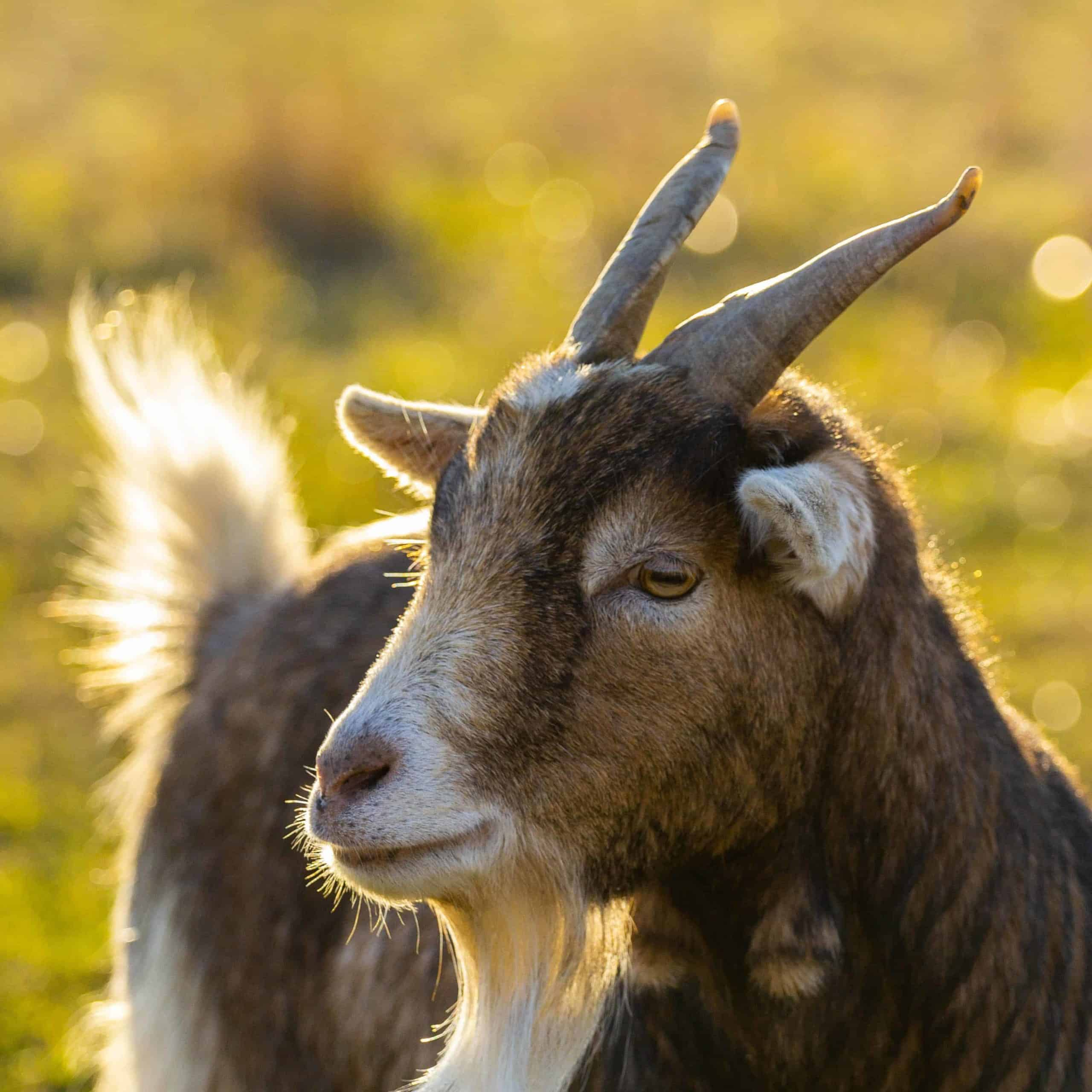 Close-up image of a goat in a field.