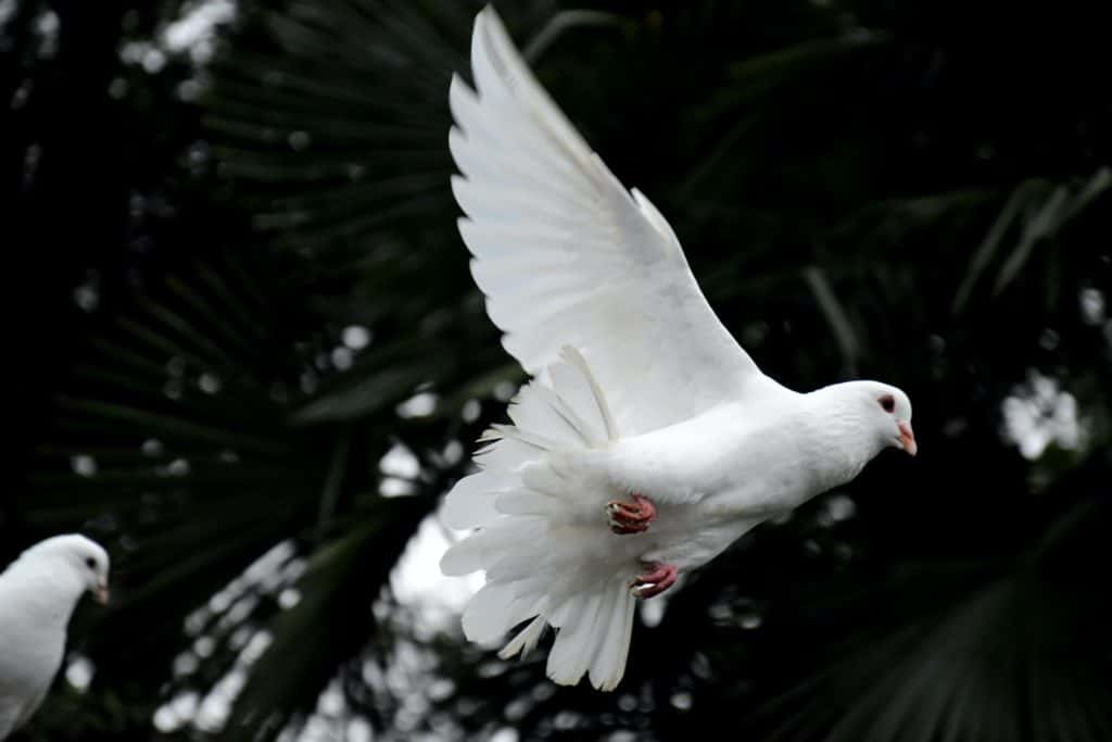 A flying dove.