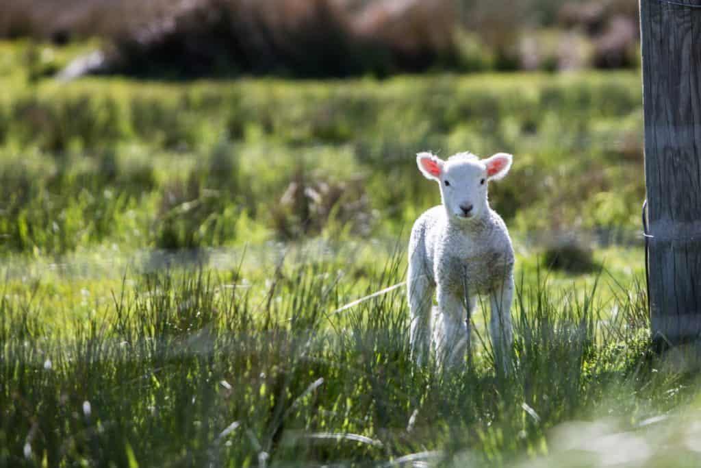 A small lamb in a field.