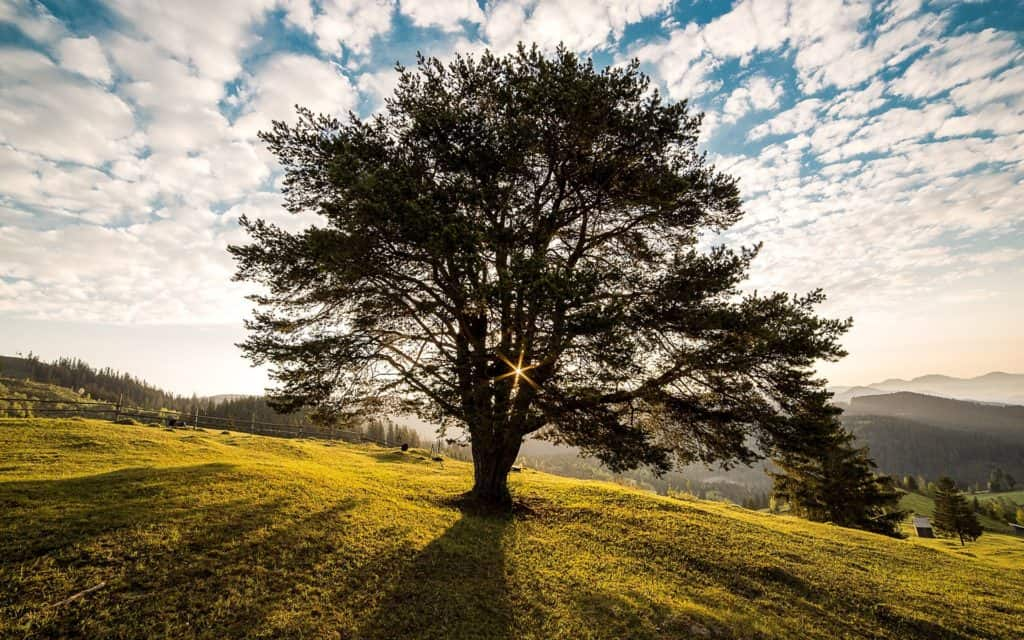 A large tree in a field with the sun shining through the branches.