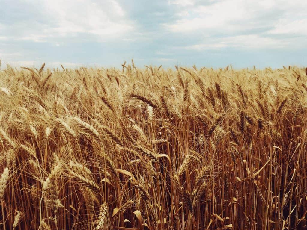 A wheat field.