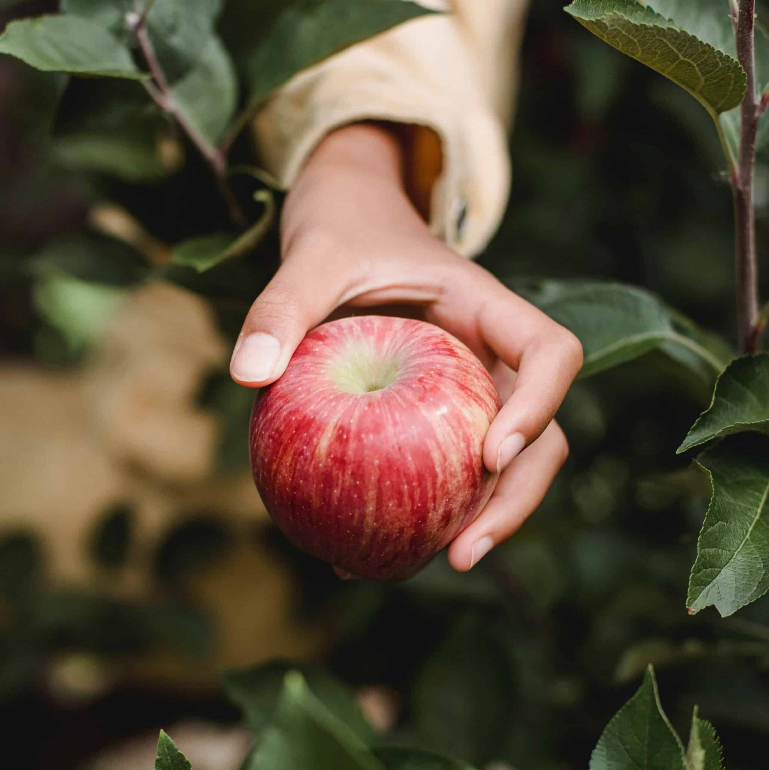 A hand reaching out to pick an apple.